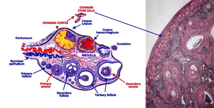 دواعي حقن المبيض بالبلازما الغنية بالصفائح الدموية